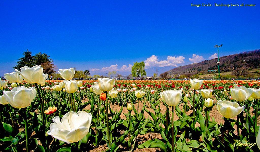 Tulip Festival Srinagar