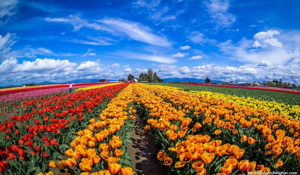 Fairs And Festivals Of India In April : Tulip Festival