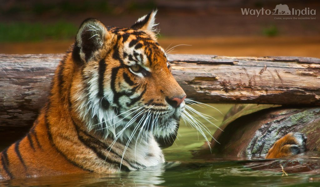 Best Places to Spot Tigers in India : BandhavGarh National Park