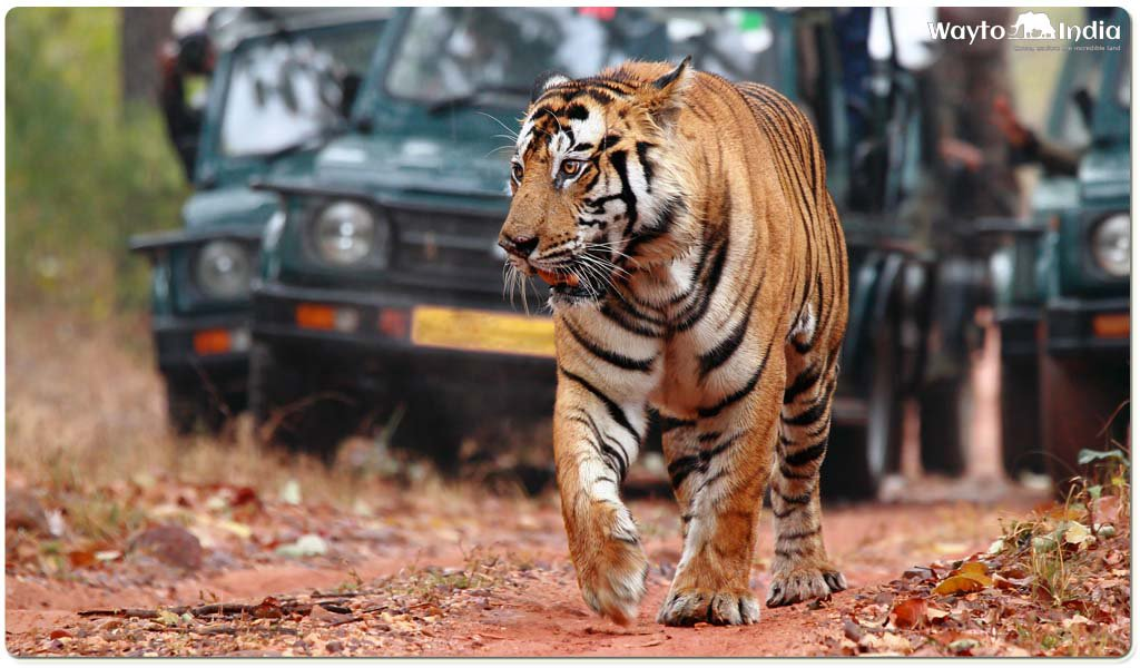 Best Places to Spot Tigers in India : Ranthambore national park