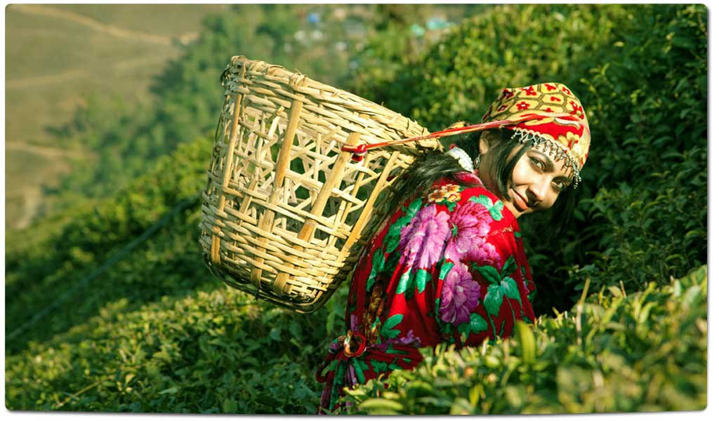 Tea Plantations in India : Himachal pradesh