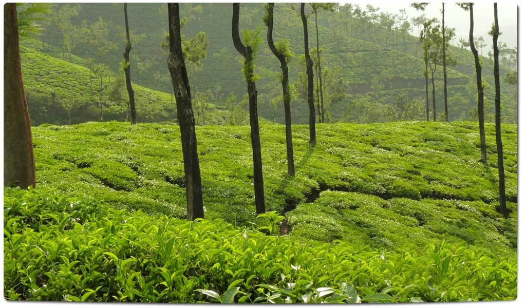 Tea Plantations in India : Karnataka