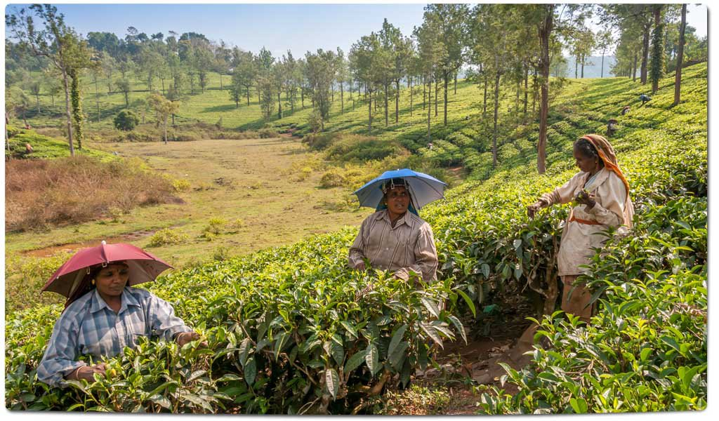 Tea Plantations in India : Neelgiri Hills