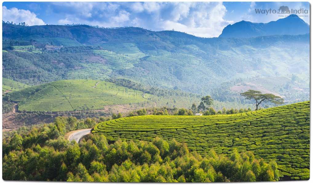 Tea Plantations in India : Anamallais