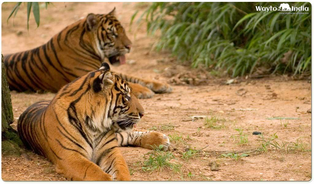 Best Places to Spot Tigers in India : Tadoba National Park